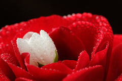 Red Rose and White Jasmine Flower with Dew Drops Close-Up Royalty Free Stock Photos