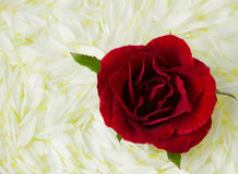 Red Rose on white petals Royalty Free Stock Photos