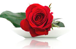 Red rose on a white plate. Red rose on a white ceramic plate closeup, isolated on white Stock Photography