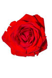 Red Rose on White Royalty Free Stock Photo