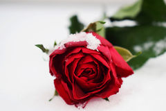 Red rose. On White Snow Royalty Free Stock Photos