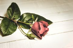 Red rose on a white wooden background. Close-up view of red rose on a white wooden table, vintage toned photo. Copy space for text stock images