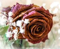 Red Rose wilted Royalty Free Stock Images