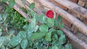 Red rose in the wind stock footage