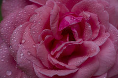 Red Rose With Water Drops, Royalty Free Stock Photo