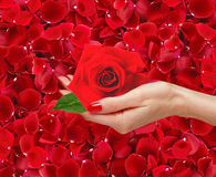 Red rose in woman hand over beautiful red rose petals Royalty Free Stock Images