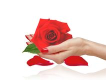 Red rose in woman hand and petals isolated on white Stock Images