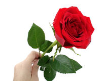 Red rose on woman's hand Royalty Free Stock Photo