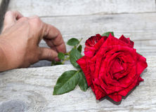 Red rose. And wood floow Royalty Free Stock Image