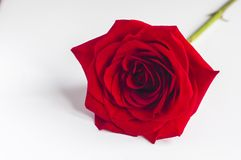 Red rose on a wooden table Stock Photo