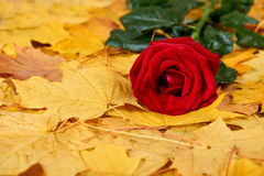 Red rose on yellow autumn leaves background Stock Photo