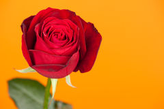 Red rose on yellow Royalty Free Stock Photography