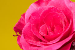 Red Rose with Yellow background Stock Photo