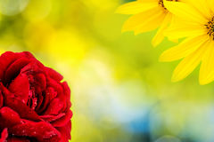 Red rose and yellow flower blossoming on natural green backgroun. Closeup of red rose and yellow flower on natural light green background with many little Royalty Free Stock Photo
