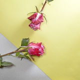 The Red rose on a yellow-gray background Royalty Free Stock Photo