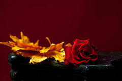 Red rose on yellow leaves. Fresh red rose flower lying on yellow autumn maple leaves on dark background stock photo