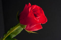 Red rosebud Stock Images