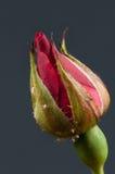 Red rosebud Royalty Free Stock Photos