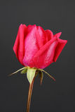 Red rosebud Royalty Free Stock Image