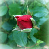 Red rosebud. A dark red rosebud opens Royalty Free Stock Photos