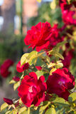 Red rosebush Stock Photography