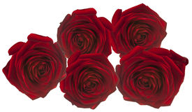 5 Red rosees for love on white Royalty Free Stock Photo
