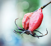 Red rosehip against its blurred Stock Images