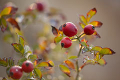 Red rosehip berries on branches Royalty Free Stock Image