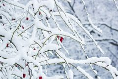 Red rosehip berries on bush in snow. Rosa canina plant Stock Photos