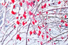 Red rosehip berries in the snow. Winter frosty day royalty free stock photo