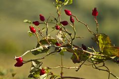 Rosehip berries. Red rosehip berries in the wood royalty free stock photos