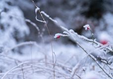 Red rosehip branches covered with snow stock photo