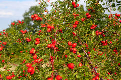 Red rosehip Stock Images