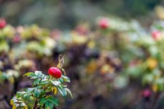 Red rosehip in the fall season. Red rosehip of a Rosa Rugosa shrub in the foreground in its own habitatat. It is autumn now and the colors of the leaves are Royalty Free Stock Photos