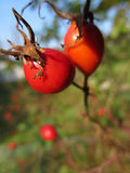 Red rosehip Royalty Free Stock Photos