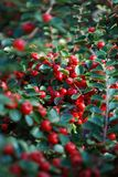 Red rosehip with green leaves stock photography