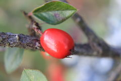 Red rosehip Royalty Free Stock Images