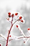 Red rosehip, wild rose inwinter Stock Image