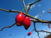 Red rosehips and blue sky. Red rosehips in contrast with clear blue sky Stock Images