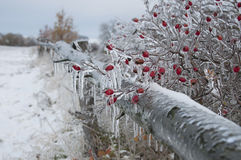 Red rosehips bush covered in ice all over in open landscape Royalty Free Stock Photo