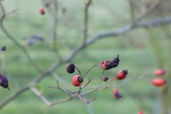 Red rosehips with green blurred background. Red solitary rosehips berries with branch and garden grass green background contrasting in winter some dead Stock Image