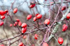 Red rosehips growing on a rose hip bush. Shallow DOF. Royalty Free Stock Photography