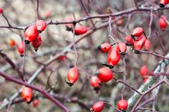 Red rosehips growing on a rose hip bush. Shallow DOF. Stock Image
