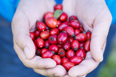Red rosehips in hands Royalty Free Stock Photography