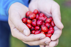 Red rosehips in hands Stock Image