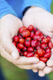 Red rosehips in hands Royalty Free Stock Image