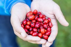 Red rosehips in hands Royalty Free Stock Images