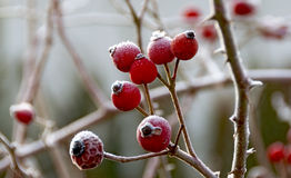 red rosehips with ice crystals Stock Photography