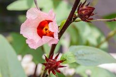 Red roselle flower Stock Photo