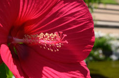 Red rosemallow. Blooming red rose mallow in sunshine garden Royalty Free Stock Photos